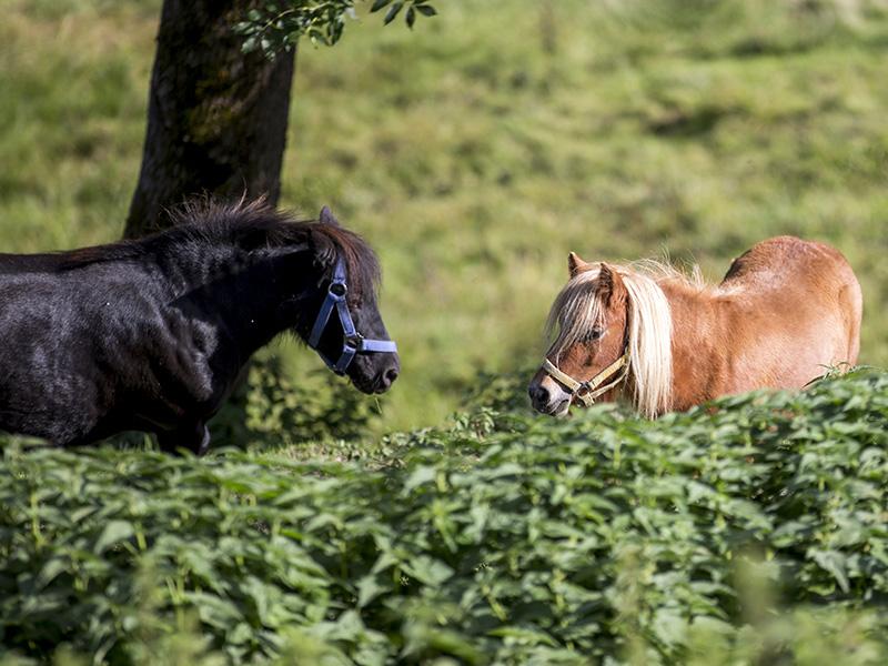 Pony Sommer